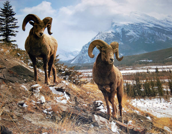 Bighorn Sheep. Impact Images poster #1499. Photo by Stephen Kraseman / Drk.