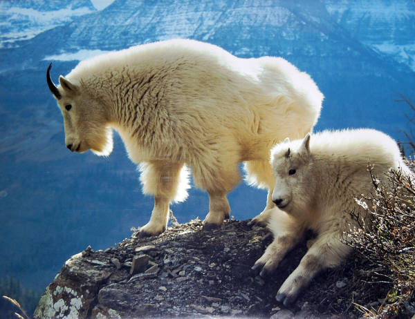 Mountain Goat Nanny with her Kid. Impact  Images poster #8762. Photo by Alan and Sandy Carey, 1990.