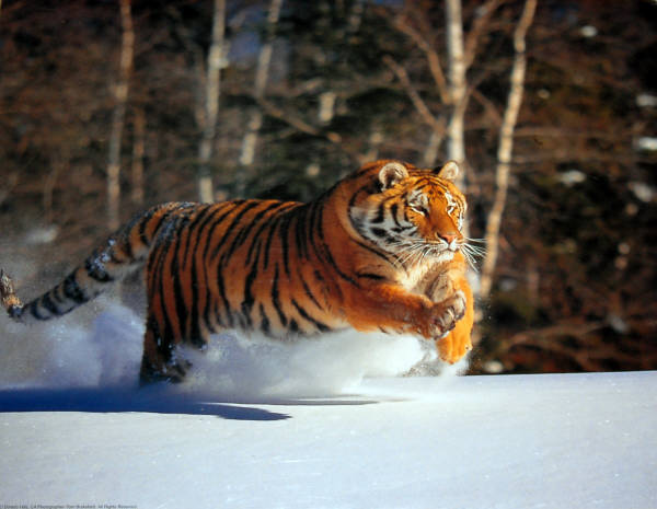 Siberian Tiger Running Snow. Impact Images poster #20809. Photo by Tom Brakefield.